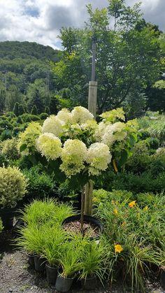 61 Best Flowering Trees Images Blossom Trees Flowering Trees