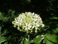Allium Deze plant is geschikt voor de ondersteuning door de   Solitairpin van www.detuinfee.nl. Verkrijgbaar in 4 hoogtes.