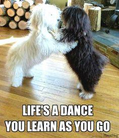 Dancing dogs - Havanese puppies are so adorable!! Little Teddy Bears! <3 HavaHug Havanese www.havahughavanese.com