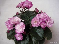 Ness' Satin Rose (D. Ness)   (8144) 01/19/1995 Double rose-mauve two-tone star. Dark green, quilted, scalloped/red back. Semiminiature.