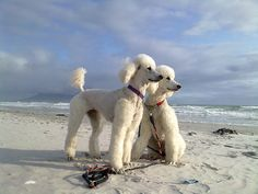 We will both look this way by Poodlematic, via Flickr. Taken on Big Bay Beach, Bloubergstrand