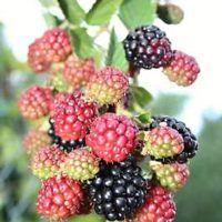 Recept : Ostružinová marmeláda   ReceptyOnLine.cz - kuchařka, recepty a inspirace Blackberry, Spices, Fruit, Food, Syrup, Spice, Essen, Blackberries, Meals
