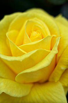 le meilleur des Floribundas jaunes. Les floraisons continues sont bien parfumées et de taille moyenne. Ils ont un teint particulièrement agréable. Plante très résistante aux maladies