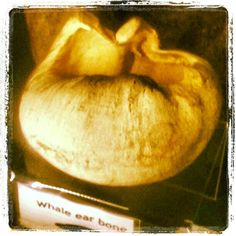 Whale ear bone. Whitby Museum.