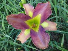 This is a very different looking daylily. the cross is   Star of India x Neon Rainbow.