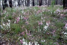 Epacris impressa. In it native environment of the Victorian open eucalyptus forest. Its one of the early signs of fire recovery.