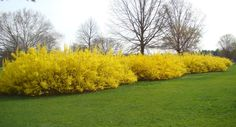 Shrubs Forsythia - Top 12 Fast Growing Shrubs: Flowering and Non-flowering - EnkiVillage - If you desire a dense privacy screen, then fast growing shrubs are the answer. Here you can find 12 recommended fast growing shrubs like Redtwig Dogwood. Shrubs For Privacy, Shrubs For Landscaping, Garden Shrubs, Garden Trees, Privacy Hedge, Landscaping Ideas, Fast Growing Flowers, Fast Growing Shrubs, Growing Tree