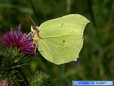 http://faaxaal.forumgratuit.ca/t112-papillon-citron-gonepteryx-rhamni#177