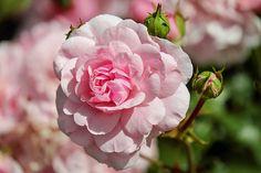 Ruusu, Kukka, Kukat, Pinkki