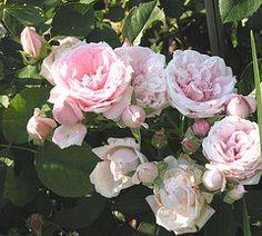 Prairie Joy Canadian Parkland rose