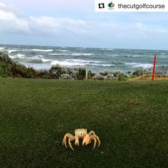 haha how cool is this guy?    #crab #thecutgolfcourse #wagolf #Repost @thecutgolfcourse with @get_repost  How was your long weekend? The launch of our March Madness specials went off with a bang and this week it continues with the $11 meals and $5 kids deals. Make sure you call on 9582 4444 to book a table as we must know numbers for catering purposes! Incredible photo by @alectedpengilly of one of the many friendly visitors we share our course with..  #thecutgolfcourse #golf #golfcourse…
