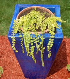 Golden moneywort cascades down a blue ceramic container.