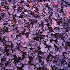 Acaena inermis 'Purpurea' (Purple Sheep's Burr, Purple Goose Leaf) Ground cover