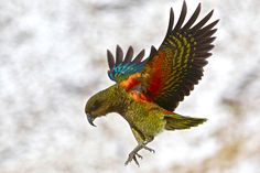 A funny parrot can be so cute. Check out these funny parrot videos. Contains some funny parrots dancing, some funny parrots talking or better said, imitating, Parrot Facts, Bird Facts, Parrot Flying, Flying Birds, Parrot Wallpaper, Funny Parrots, All Birds, Tier Fotos, Bird Drawings