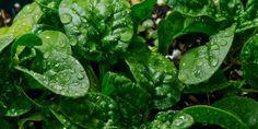 Spinat: Es gibt Frühlings- und Winterspinat. Der hohe Eisengehalt ist allerdings eine Legende. Trotzdem ist Spinat gesund. Tips zur Lagerung
