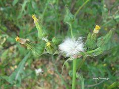 Dandelion, Survival, Flowers, Plants, Dandelions, Plant, Taraxacum Officinale, Royal Icing Flowers, Flower