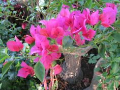 Bougainvillea...These beauties thrive in the heat, bloom all summer long, do great in full sun and give you a   whole lot of bang for your buck.  They are a must for containers or in your garden!!!