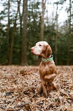 by Sarah. I Love Dogs, Cute Dogs, Hungarian Vizsla, Dog Rules, Old Dogs, Working Dogs, Dog Photography, Dog Photos, My Animal
