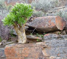 Butter tree by Tylecodon paniculatus is a stocky, caudiciform, arborescent succulent that occurs over a wide area. The plant is found from Eastern Cape near Steytlerville in the Little Karoo, along the southern and western Cape coastline and as far north as the Auas Mountains in central Namibia. Tylecodon paniculatus is common in the Worcester/Robertson Karoo, the Bushmanland area and northern Namaqualand.Steve Coetzee.