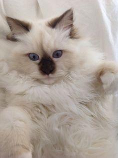 Ragdoll kitten Rowan Wyatt 5 1/2 mos