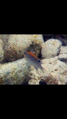 Dusky damselfish juvenile Under The Sea, Caribbean, Fish, Pets, Animals, Animals And Pets, Animales, Animaux, Animais