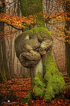 sleeping dragon tree