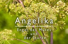 Angelikawurzel (Angelica archangelica): Die Angelikawurzel ist eine Heilpflanze aus Nord-Europas, ihr ätherisches Öl hilft gegen Völlegefühl und Blähungen