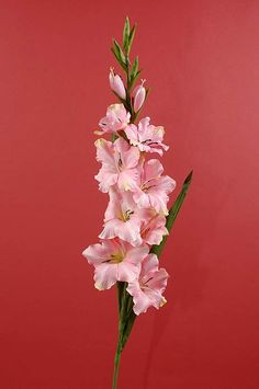36 GLADIOLUS SPRAY PINK $12.54 each