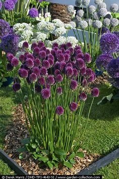 Allium sphaerocephalon in a garden border