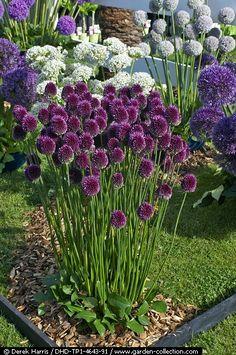 Allium sphaerocephalon in a garden border