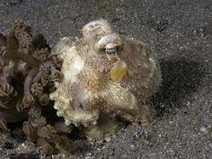 Veined Octopus (Octopus Marginatus) Indonesia
