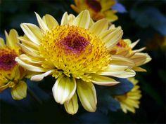 Foto der gelben Blüte einer Garten-Chrysantheme