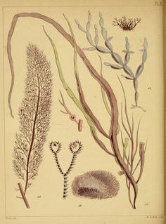A popular history of British sea-weeds, - Biodiversity Heritage Library #dailyconceptive #diarioconceptivo