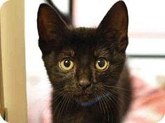 San Jose, CA - Domestic Mediumhair. Meet EDISON, a kitten for adoption. http://www.adoptapet.com/pet/13148446-san-jose-california-kitten
