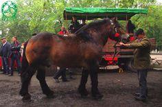 Polish Coldblood - stallion Amper