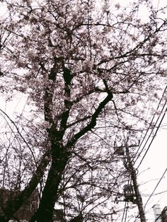 2015桜。Pt2