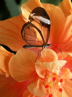 Glasswing Butterfly from Mainau Island