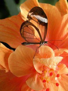 *Glasswing Butterfly from Mainau Island