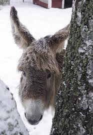 Kuvahaun tulos haulle Aasi Donkey, Goats, Animals, Animales, Animaux, Donkeys, Animal, Animais, Goat