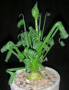 Rare succulent bulb albuca spirals