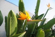 Exotische paradijsvogelplant voor binnen en buiten | Zorgt voor een tropische look!