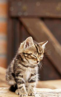 Little Country Kitten