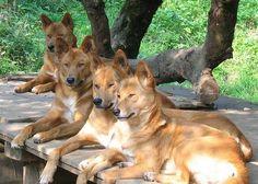 Dingos. The assholes of the animal kingdom.