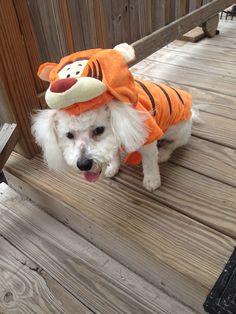 Happy Halloween, lil' Tigger Bichon!