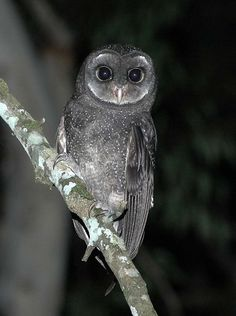 Greater Sooty Owl (Tyto tenebricosa). An elusive, medium large, sooty-black owl with no ear-tufts that lives in south-east Australia and New Guinea. They have also been known as Black Owls or Dusky Barn Owls.