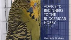 Advice to Beginners to the Budgerigar Hobby Budgies, Free Printables, Advice, This Or That Questions, Waves, Hobbies, Tips, Nice Asses, Ideas