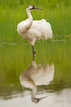 Recovering from a low of only 21 birds in the wild in the 1940s to around 599 birds today, the Whooping Crane's recovery is one of conservation's most inspiring success stories.