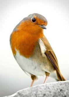 European Robin by Antonio Martin Kinds Of Birds, All Birds, Cute Birds, Pretty Birds, Little Birds, Beautiful Birds, Animals Beautiful, Cute Animals, Exotic Birds