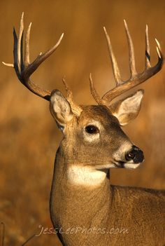 Whitetail Deer-wouldn't mind meeting this joker in the woods come October. Bow Hunting Deer, Whitetail Deer Hunting, Whitetail Bucks, Whitetail Deer Pictures, Deer Photos, Animals Beautiful, Cute Animals, Big Deer, Deer Family