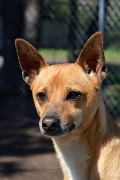 Pls pin! Adoptable dog. Homer Chihuahua Mix • Young • Male • Small Abandoned Animal Rescue Tomball, TX